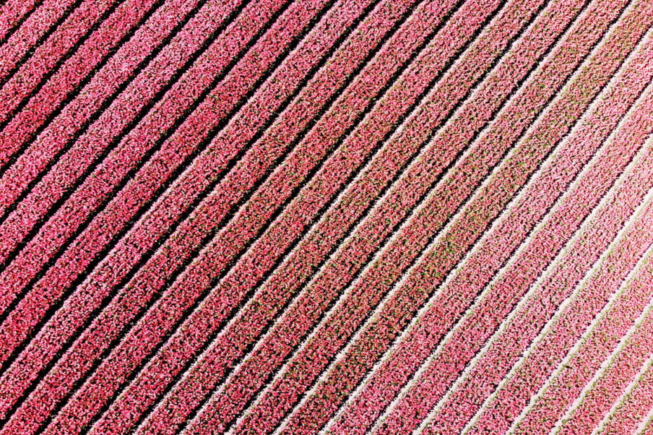 Drone photo of pink tulips by Amsterdam photographer Tom van der Leij
