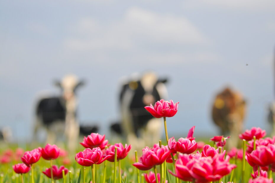 Dutch cows and tulips photography therapy and workshops by Amsterdam photographer Tom van der Leij