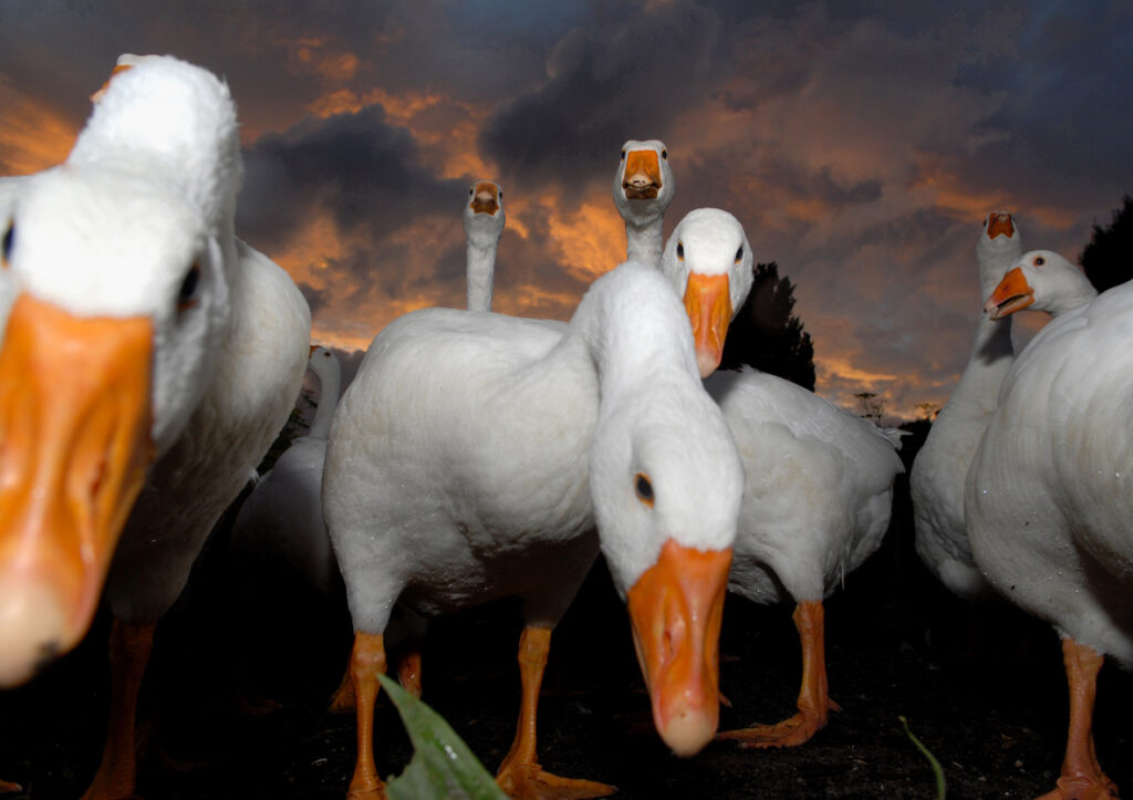 Up close with geese by Amsterdam photographer Tom van der Leij